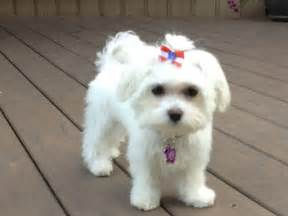 boy maltese haircuts maltese maltese haircut and haircuts on pinterest