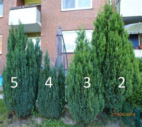 wann babymöbel kaufen zypressen schneiden zypresse pflanzen pflege schneiden