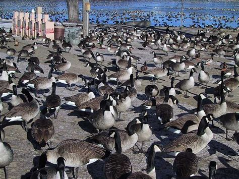 park rochester mn rochester mn caniadian geese at silver lake park photo picture image minnesota