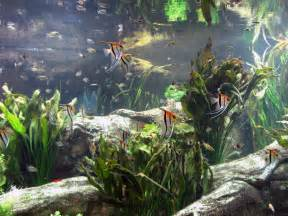 What Fish Can You Put With Angelfish in a Community Tank?