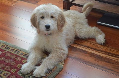 golden retriever poodles golden retriever puppy 1 jpg pictures to pin on breeds picture