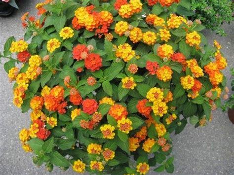 fiori da balcone resistenti al sole piante resistenti al sole piante da terrazzo piante