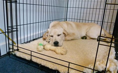 crate puppy at crate protecting your labrador retriever