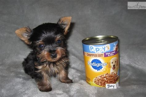 yorkie puppies st louis 17 best ideas about yorkie puppies on teacup yorkie terriers