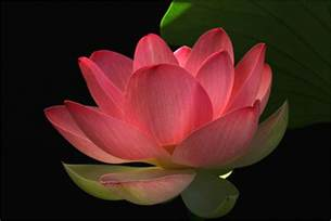 Crimson Lotus Flower Lotus Flower Flower Hd Wallpapers Images Pictures