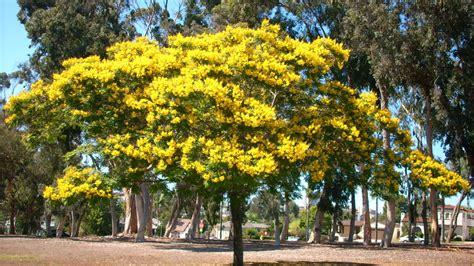 Benihbijibibit Pohon Flamboyan Ungu jual pohon flamboyan tungan sudah karantina siap tanam rumput gajah mini 10rb