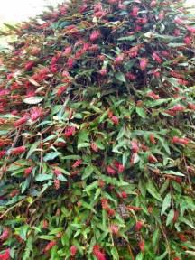Bonsai Fruit Tree - weeping standard royal mantle grevillea sp