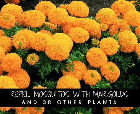 repel mosquitoes with marigolds and 38 other plants