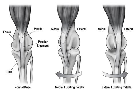 patellar luxation luxating patella in dogs doghealth