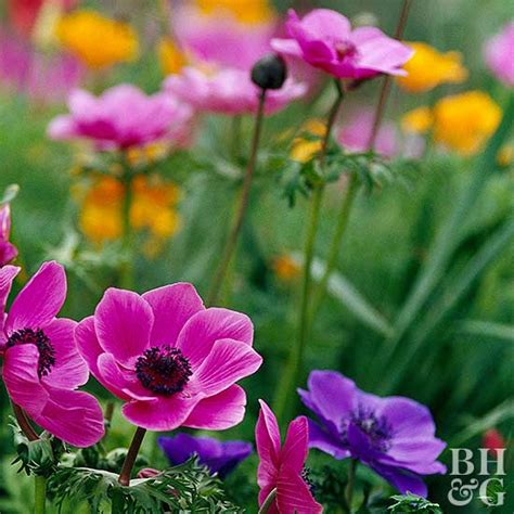 anemone dictionary anemone bulbs