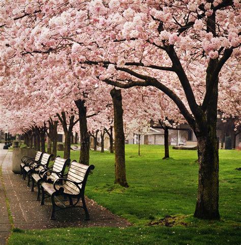 best seattle tree lot estilodf 187 top 5 d 243 nde disfrutar las flores de cerezos en el mundo