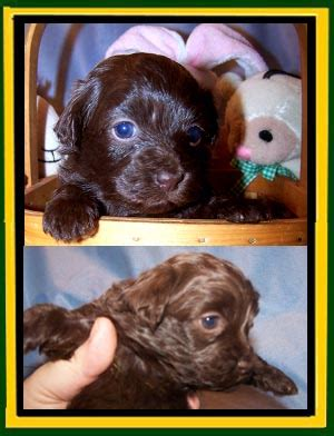 havanese puppies kansas welcome to our nursery havanese havanese puppies for sale 2015 personal