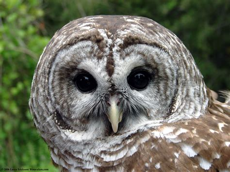 wisconsin owls identification s barred owl photos