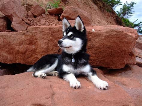 how much are husky puppies worth 17 best images about alaskan klee on toys rocky mountains and