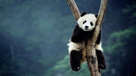 wallpaper desktop panda panda hd wallpapers for desktop animals hd wallpapers