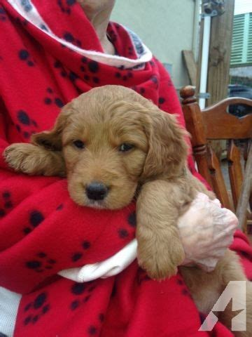 trained puppies for adoption goldendoodle puppies for adoption trained ready 2 02 14 for new homes for sale in