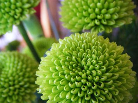 Senci Green Flower Garden Chrysanthemum Dendranthema Button Pomp Kermits Aa Cut