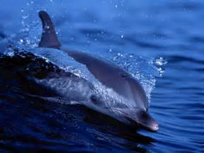Free living dolphins screensaver 1 0 enjoy this free screensaver with