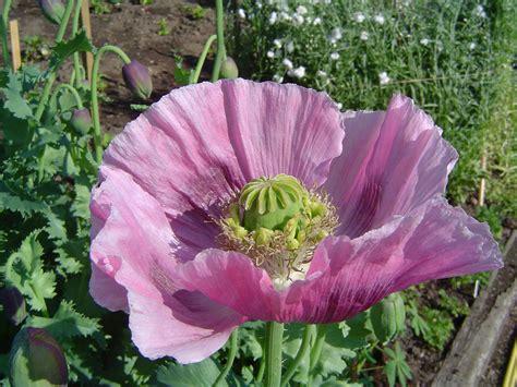 Opium by File Opium Poppy Jpg