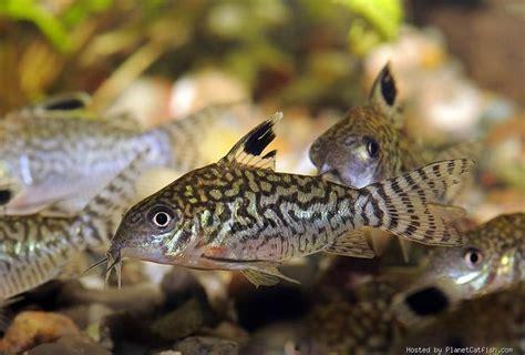 Bottom Feeders For Freshwater Tanks corydoras reticulatus sa bottom feeder soft acidic