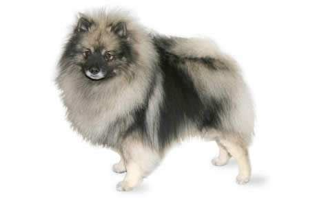 how much does a pug cost in india how much do pomsky puppies cost