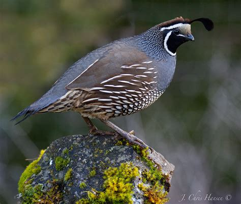 california quail i love bob whites quail pinterest