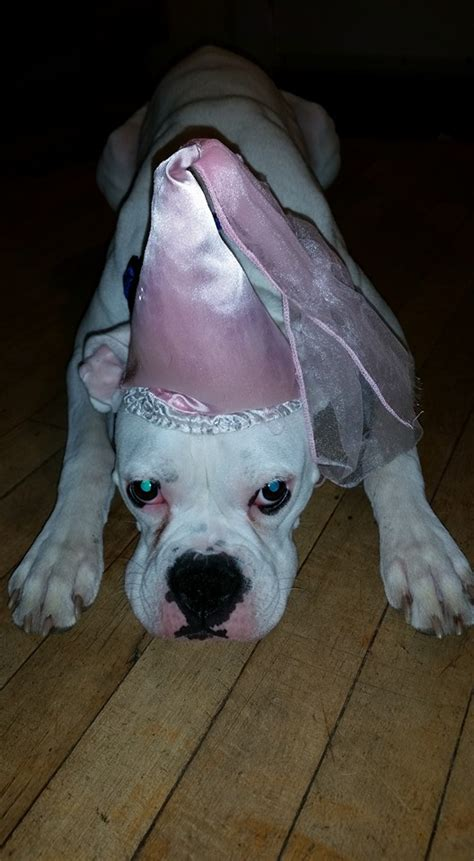 costumes  prove boxer dogs  win  halloween