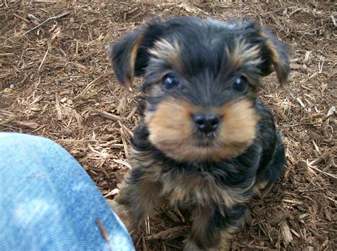 mutt puppies corkie breed 187 information pictures more