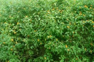 file lantana camara bushes at igzoo park 01 jpg