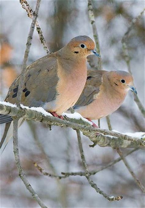 17 best ideas about mourning dove on pinterest pretty