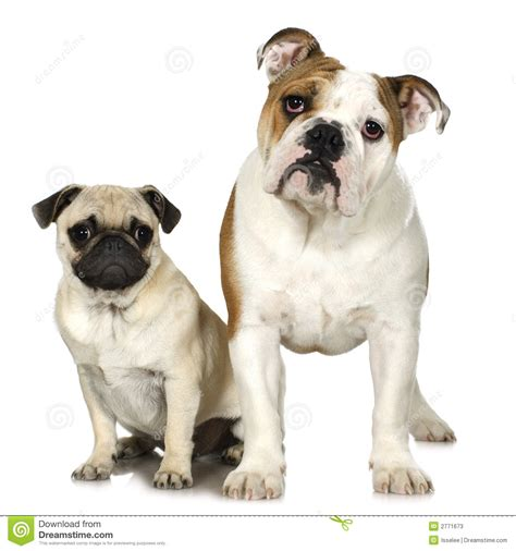 bull and pug bulldog and a pug stock photos image 2771673