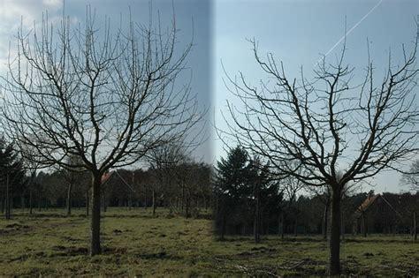apfelbaum schnitt anleitung zum obstbaumschnitt nabu