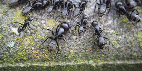come combattere le formiche in cucina gli specialisti delle formiche gli specialisti delle