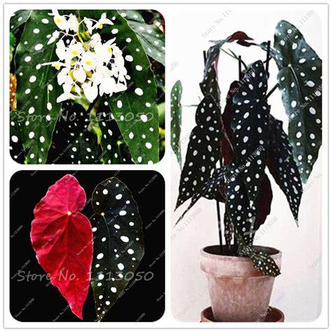 aliexpress buy 20 bag begonia 11 11 promotion 30 pcs bag begonia seeds potted