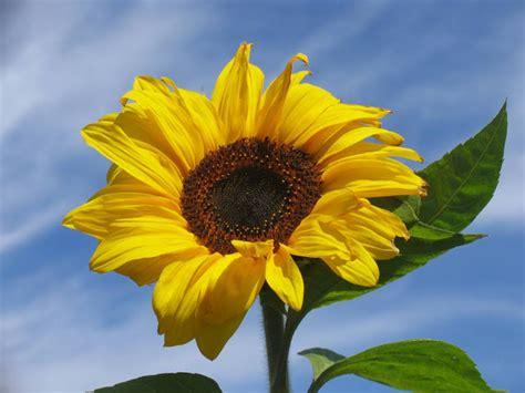 fiori in generale quot qb on air quot con il topinambur parente girasole e il