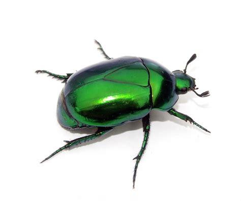 imagenes de insectos verdes cuadro en lienzo escarabajo verde en fondo blanco insecto