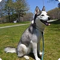 husky puppies for adoption in ny brookhaven ny husky meet hagird a for adoption