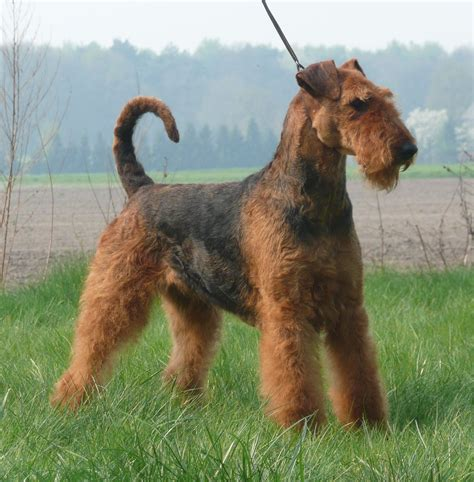 Airedale Terrier on the walk photo and wallpaper ...