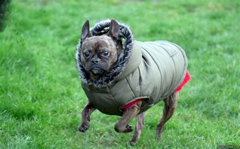 pug baby grow meet the pug with stretchy skin condition who was so ill vets advised ehr