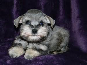teacup schnauzer puppies for sale teacup schnauzer puppy miniature schnauzer puppies schnauzer puppy