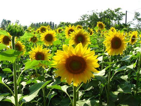 sunflowers in kansas wwe wrestlers profile kansas state flower sunflower gallery