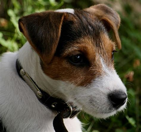 brown and white breeds brown and white breeds www pixshark images galleries with a bite