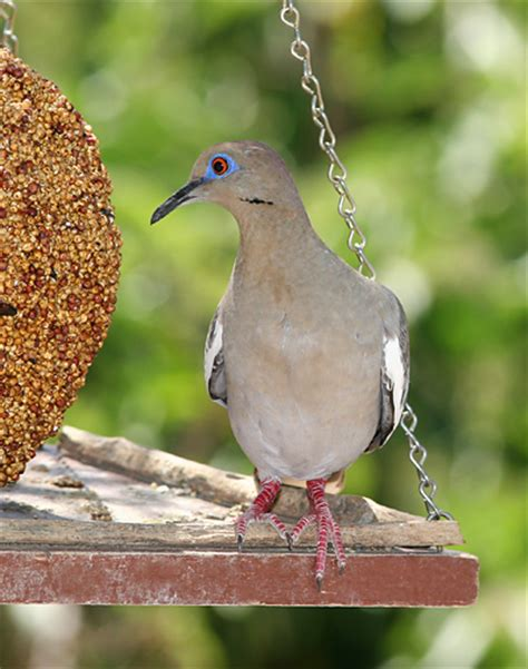 best 28 what do white winged doves eat file white