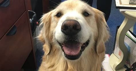 therapy golden retrievers this smiling golden retriever is a one of a therapy cbs news