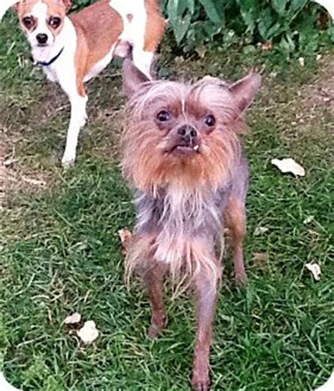 crested yorkie mix scrappy adopted 472300032 columbia heights mn crested yorkie