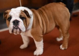 Sepatu Picboy Buldog 1 bulldog health problems prompt cross call news