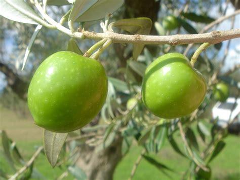 variet di olive da tavola liste des huiles d olive italiennes