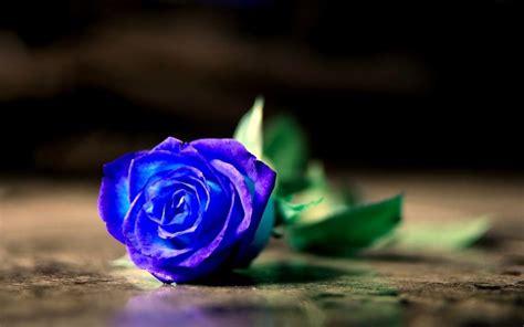 significato fiori rosa significato rosa significato dei fiori conoscere il