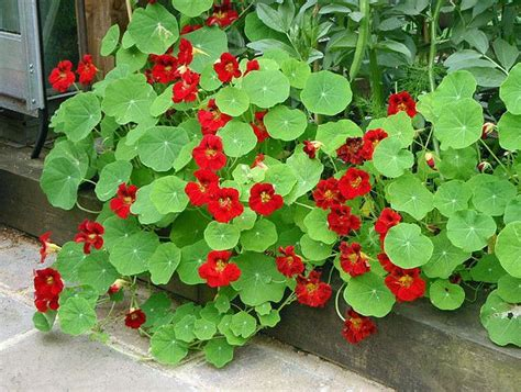 indian garden flowers nasturtium quot empress of india quot garden flowers of thoughts