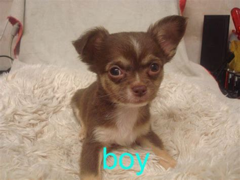 hair chihuahua puppies for sale teacup haired chihuahua puppies for sale in nc breeds picture